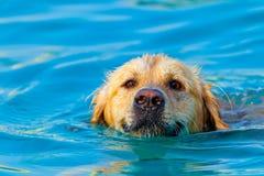 金毛猎犬游泳 免版税库存图片