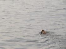金毛猎犬游泳 库存照片