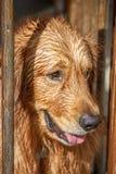 金毛猎犬湿在游泳以后 免版税库存图片