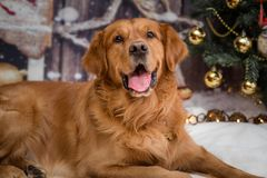 金毛猎犬狗在新年background2 库存图片