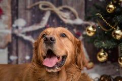 金毛猎犬狗在新年background3 库存照片