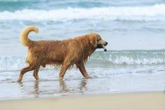 金毛猎犬狗画象使用激动幸福的 免版税库存图片