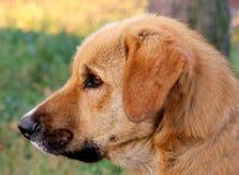 金毛猎犬狗 免版税图库摄影