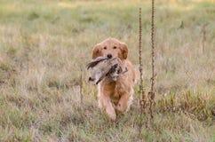 金毛猎犬狩猎野鸡 免版税库存照片