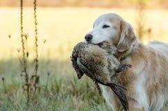 金毛猎犬用野鸡 库存图片