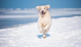 金毛猎犬由海边负责 免版税图库摄影