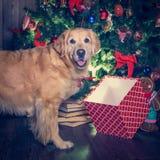 金毛猎犬的狗和观看他的chrstmas的箱子摆在和 免版税库存照片