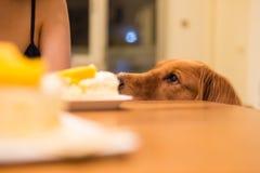 金毛猎犬要吃蛋糕 免版税库存图片