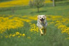 金毛猎犬跑往照相机 库存照片