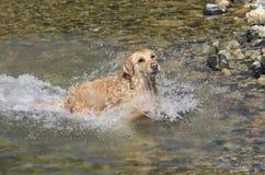 金毛猎犬运行中 免版税图库摄影