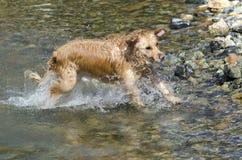 金毛猎犬运行中 免版税库存照片