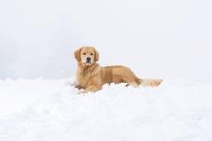 金毛猎犬雪 图库摄影
