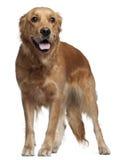 金毛猎犬, 15个月,突出 库存图片
