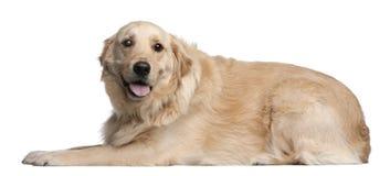 金毛猎犬, 3岁,位于 免版税图库摄影