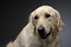 金毛猎犬画象在一个黑暗的演播室 免版税库存照片