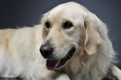 金毛猎犬画象在一个黑暗的演播室 库存照片