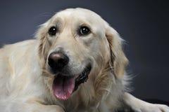 金毛猎犬画象在黑暗的演播室 免版税库存照片