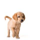 金毛猎犬 库存图片