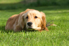 金毛猎犬 图库摄影