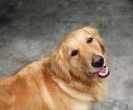 金毛猎犬 免版税库存图片