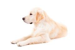 金毛猎犬 免版税库存照片