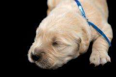 金毛猎犬puppyblack背景 免版税图库摄影
