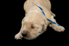 金毛猎犬puppyblack背景 免版税库存图片