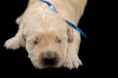 金毛猎犬puppyblack背景 库存图片