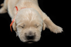 金毛猎犬puppyblack背景 免版税库存照片