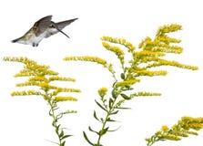 金毛茛蜂鸟 库存图片