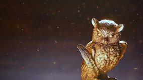 金猫头鹰形象尘土 影视素材