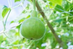 金瓜和匏树  免版税图库摄影