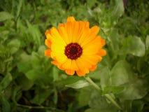 金盏草接近的日花晴朗 库存图片
