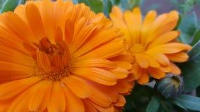 金盏草接近的日花晴朗 图库摄影