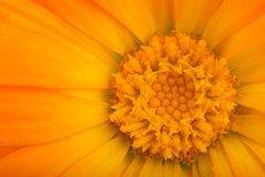金盏草接近的花橙色射击 免版税图库摄影