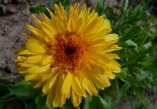 金盏草样式纹理绿色宏观五颜六色的瓣明亮的植物群红色花束瓣植物绽放秀丽春天开花summe 图库摄影