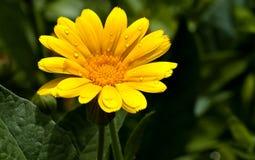 金盏草花与露滴的在瓣 库存图片