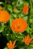 金盏草花在庭院里 库存图片