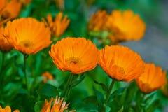 金盏草花在庭院里 免版税图库摄影