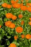金盏草花在庭院里 库存照片
