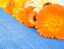 金盏草花在蓝色老木桌上的 库存图片