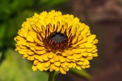 金盏草花的特写镜头在庭院里 免版税库存照片