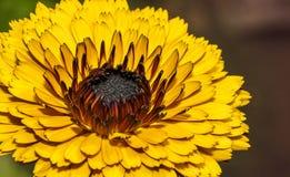 金盏草花的特写镜头在庭院里 免版税库存图片