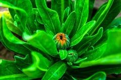 金盏草花蕾的接近的射击有绿色叶子的 免版税库存图片