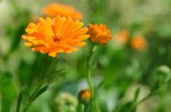 金盏菊在迷离背景的金盏草officinalis 库存照片