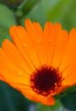 金盏菊(金盏草officinalis) 库存照片