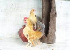 金矮脚鸡 免版税库存照片