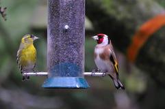 金翅雀和一男性Siskin哺养。 免版税库存照片