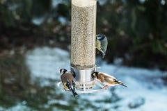 金翅雀和蓝冠山雀在雪 免版税库存图片