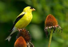 金翅雀和锥体花 库存图片